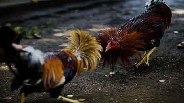 Promo Bonus Deposit Sabung Ayam S128