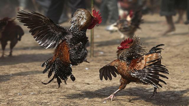 Judi S128 Sabung Ayam Taji Online Uang Asli