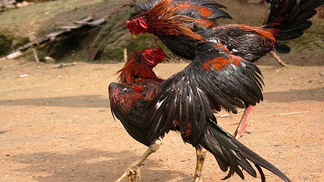 Cara Main Judi Sabung Ayam Online
